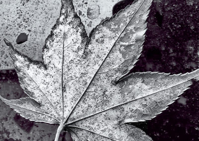 Maple Leaf in Texture