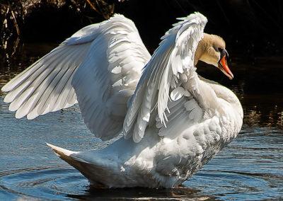 Posturing Swan